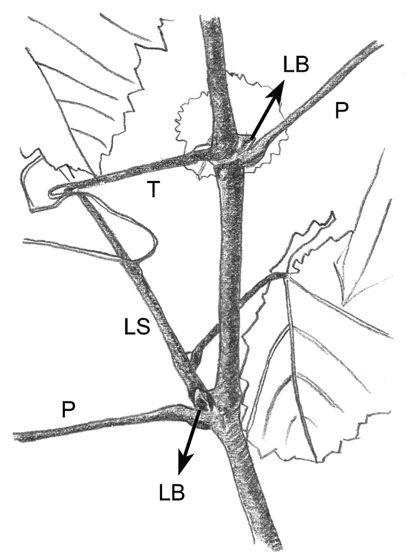 The Flowering Process of Vitis vinifera: A Review | American Journal ...