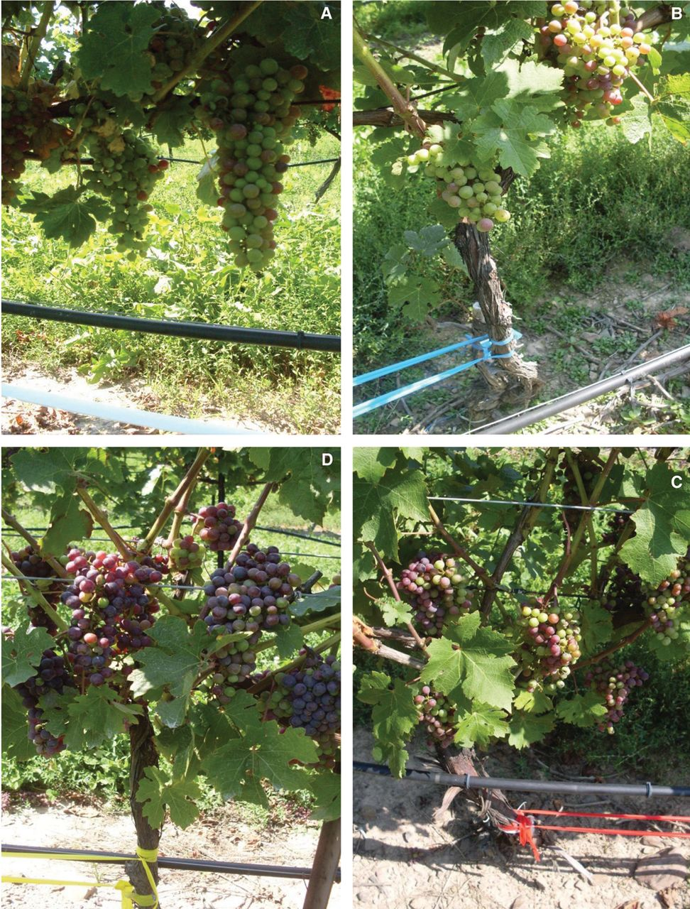 Impact of Exogenous Abscisic Acid on Vine Physiology and Grape ...