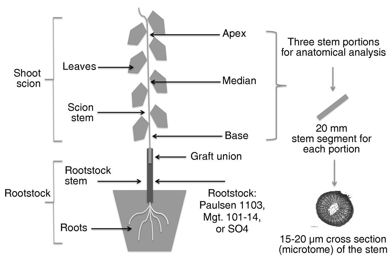 Physiological Interaction Between Rootstock Scion Effects On Xylem