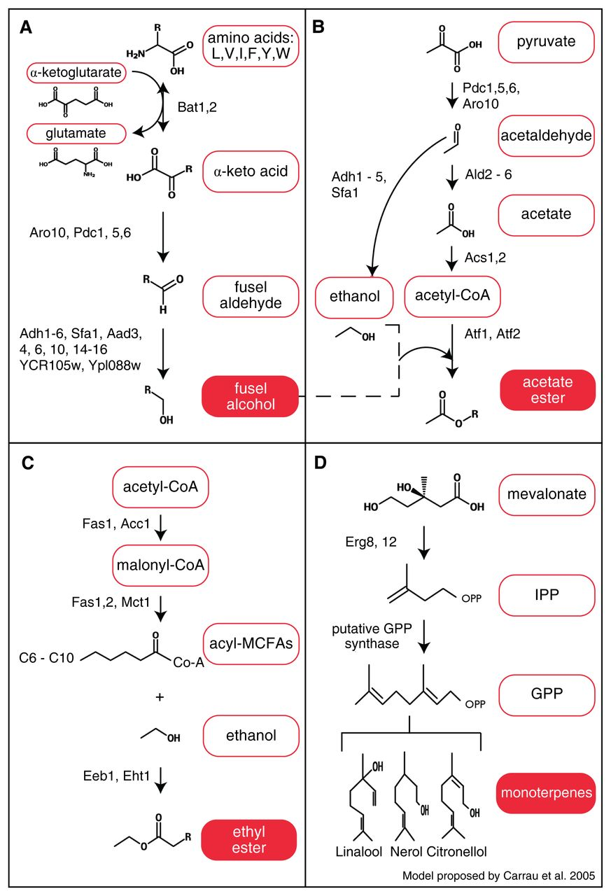 Review of Aroma Formation through Metabolic Pathways of