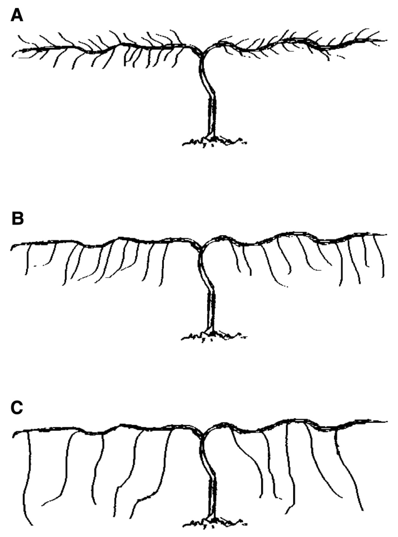 Effect Of Cane Length On Concord And Niagara Grapevines American