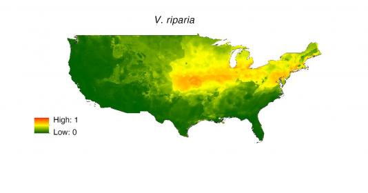Climatic niche model of native North American Vitis species Vitis riparia produced by Maxent. Climate suitability ranges from no suitability (0; green) to high suitability (1; red).